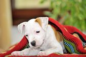 pic of american staffordshire terrier  - Puppy American Staffordshire Terrier  playing - JPG