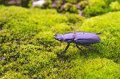 stag beetle is walking
