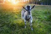 young goat chews a fresh green grass