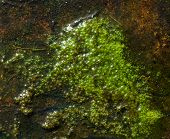 Green Algae In A Shallow Pool Of Water