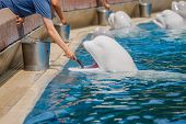 stock photo of cetacea  - Tourists feeding bulugas whale in the pool - JPG
