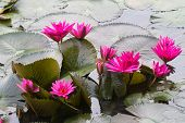 Red waterlily in the lake