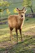 One deer in Nara park in the morning, Japan, Asia.