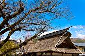 tree in Oshino Village,Japan