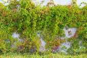Ivy Leaves On Wall Background