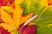 Wheat On Autumn Leaves