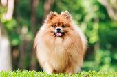 Pomeranian Dog Standing On Green Grass In The Garden