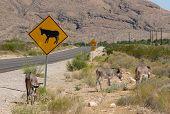 pic of burro  - WILD BURROS NEAR ROAD SIGN WARNING OF BURROS - JPG