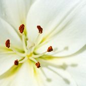 Stamen And Pistil Of White Flower Lilium