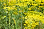 Yellow Blooming Dill Herbs In Garden