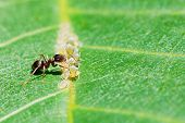 Ant Collects Honeydew From Aphids Herd On Leaf