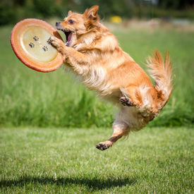 stock photo of frisbee  - a brown mongrel dog has just a Frisbee with his front paws.