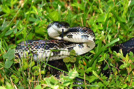picture of rats  - Rat Snake on a summer day at Eldon Hazlet State Park of Illinois - JPG