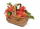 Viburnum Berries In A Wicker Basket Isolated On White Background