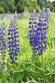 Lupin Flowers (genus Lupinus)