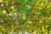 stock photo of calabash  - Green roof made from calabash plant in northern Thailand - JPG