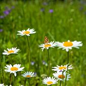 Summer Background With Daisies.