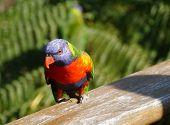 image of lorikeets  - Rainbow lorikeet  - JPG
