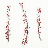 Berberis vulgaris twigs
