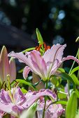 pic of easter lily  - Lilium longiflorum  - JPG