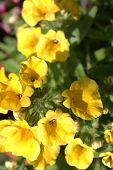 Yelow Nemesia Flowers Close Up