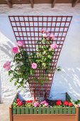 picture of climbing roses  - Beautiful flower decoration with pink roses outside a scottish house - JPG