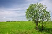 Green Tree On The Field And Cloudy Sky