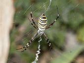 Striped Spider