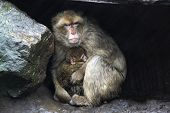 Monkey Protecting Her Child