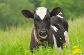 Brown spotted bull among fresh green grass