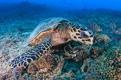 picture of hawksbill turtle  - Hawksbill Turtle creates a cloud of silt as it feeds on a tropical coral reef - JPG