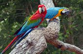 Pair Macaw Sitting On Branch