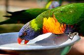 stock photo of lorikeets  - Two Native Australian Rainbow Lorikeet drinks from feeding plate - JPG