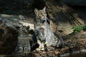 European wildcat (Felis silvestris silvestris) with a kitten.