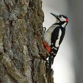 woodpecker in natural habitat (Picoides Pubescens)