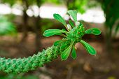 picture of sneak  - Rat tail Cactus is a tree in the garden - JPG