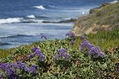 Purple Blooms Overlooking Coast