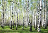image of birching  - Spring birches in sunny forest with first greens - JPG