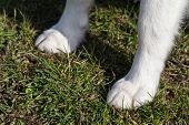 pic of siberian husky  - Paws of Siberian Husky closeup - JPG