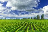 pic of corn  - Corn field and blue sky in the summer - JPG