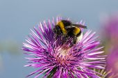 stock photo of creeping  - Common Bee polizating a Carpobrotus edulis succulent plant creeping native to the Cape region in South Africa - JPG