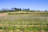 picture of bordeaux  - growth of a vineyard in the countryside of Saint Emilion Bordeaux France - JPG