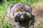 image of raccoon  - Young raccoon dog  - JPG