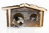 picture of fancy mouse  - Mice playing in a wooden house isolated  - JPG