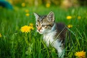 picture of kitty  - black and white kitty cat sitting in the green grass with yellow dandelions spring summer - JPG