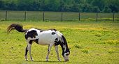pic of paint horse  - A photograph of a black and white paint horse grazing in a Tennessee field of buttercups with a flicking tail - JPG