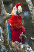 stock photo of rainforest animal  - Parrot Macaw - Ara ararauna in the rainforest perching on a branch Ecuador