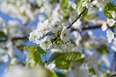 stock photo of cherries  - Sprig with flowers cherry - JPG
