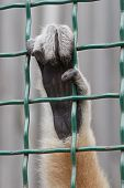 picture of hairy  - One Hairy hand monkey in a cage - JPG
