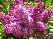 stock photo of lilac bush  - Purple lilac bush flowers in beauty spring - JPG